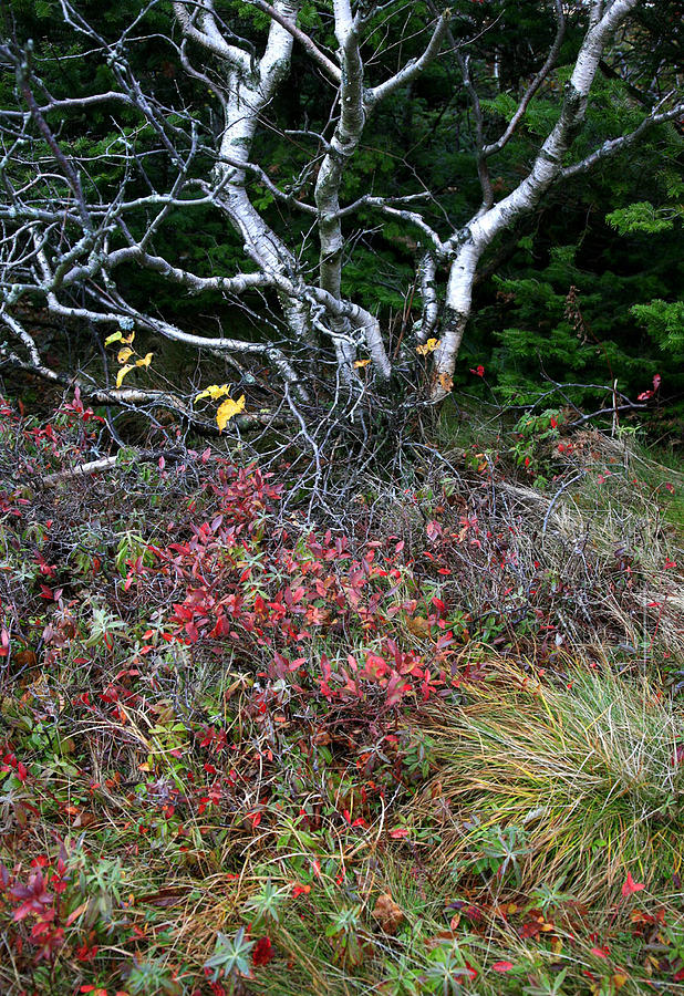Landscape Photograph - Twisted Birch On Cadillac Mountain by David Watkins Jr