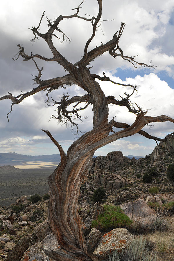 Twisted Mojave Tree Photograph By Kyle Hanson