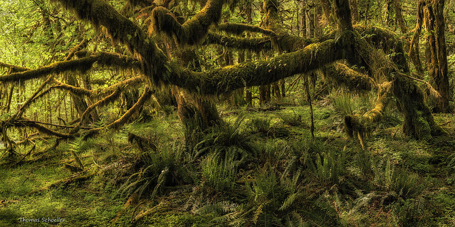 Big Leaf Maple Photograph - Twisted  by T-S Fine Art Landscape Photography