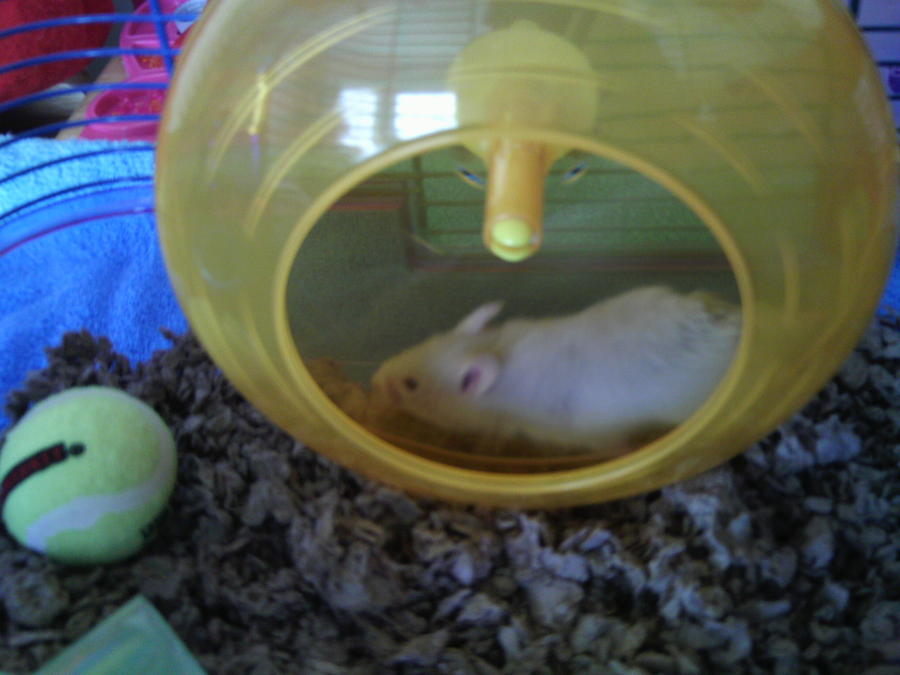 Hamster Photograph - Twizzlers On Her Wheel by Bailey Reed