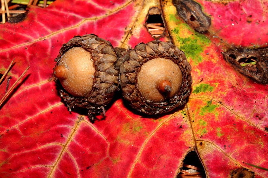 Two Acorns on Tatterd Maple Leaf 2 by Robert Morin