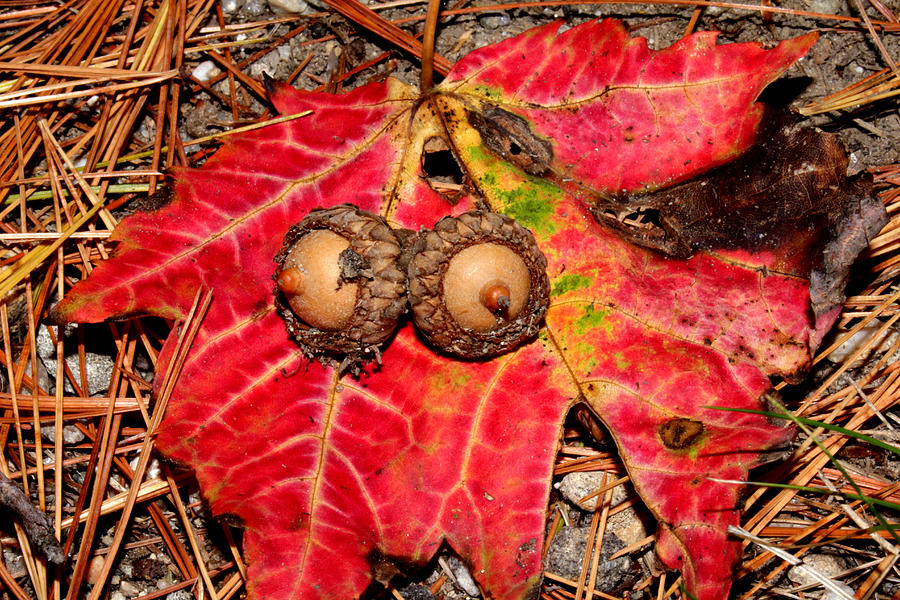 Two Acorns on Tatterd Maple Leaf by Robert Morin