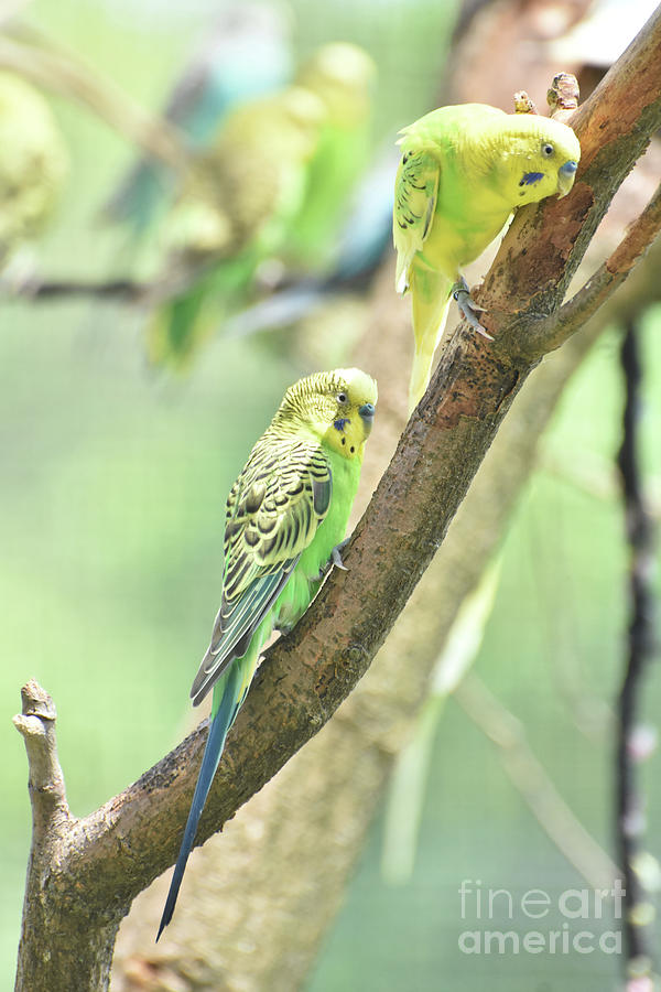 Budgie Photograph - Two Adorable Budgie Parakeets Living In Nature by DejaVu Designs