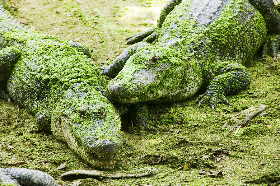 Two Photograph - Two Alligators by Garry Gay