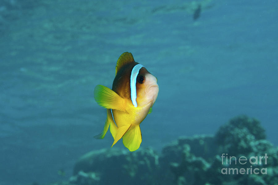 Coral Photograph - Two-banded Clownfish by Hagai Nativ