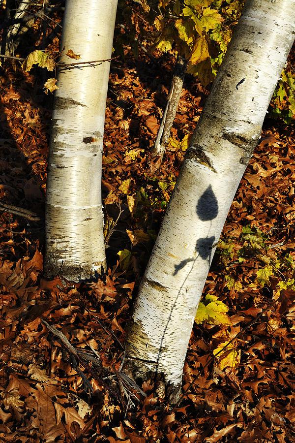 Birch Tree Photograph - Two Birch Trees by Luke Moore
