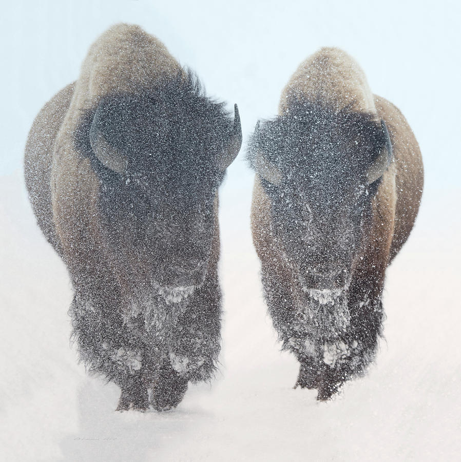 Wildlife Digital Art - Two  Bison In Snow At Yellowstone Park By Olena Art by OLena Art - Lena Owens