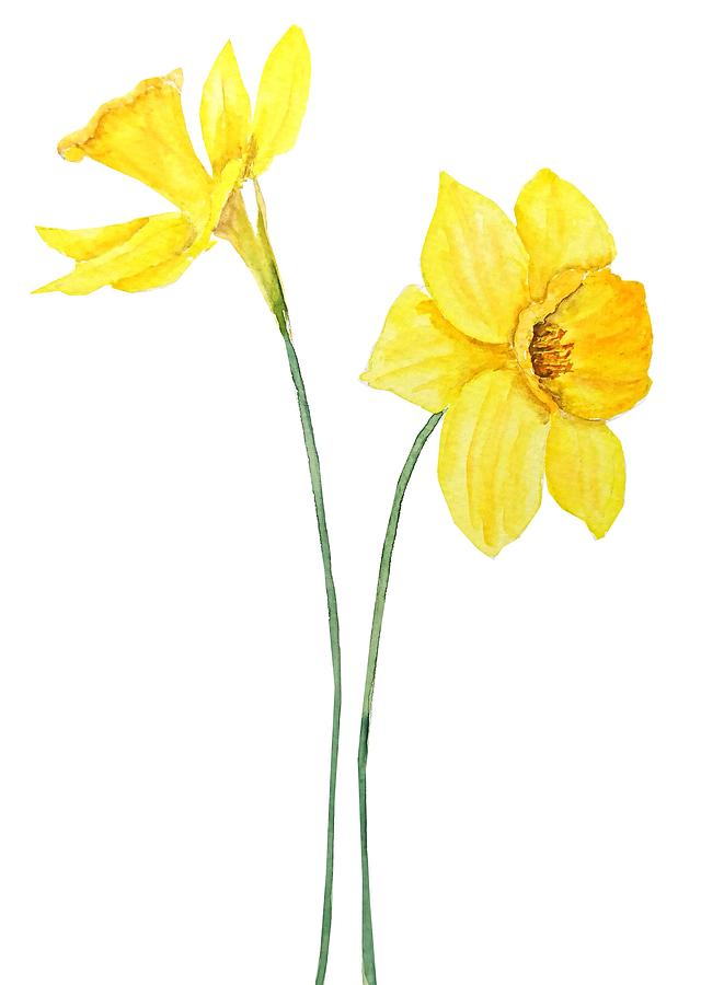 Two Botanical Yellow Daffodils Watercolor Painting By Color Color
