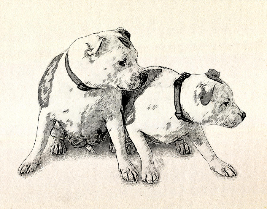 Staffordshire Bull Terrier Drawing - Two Bull Terriers by Michael Tompsett