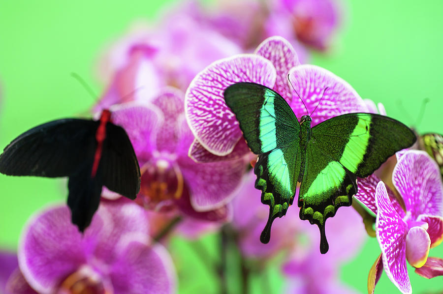 Two Butterflies On Purple Orchids Photograph