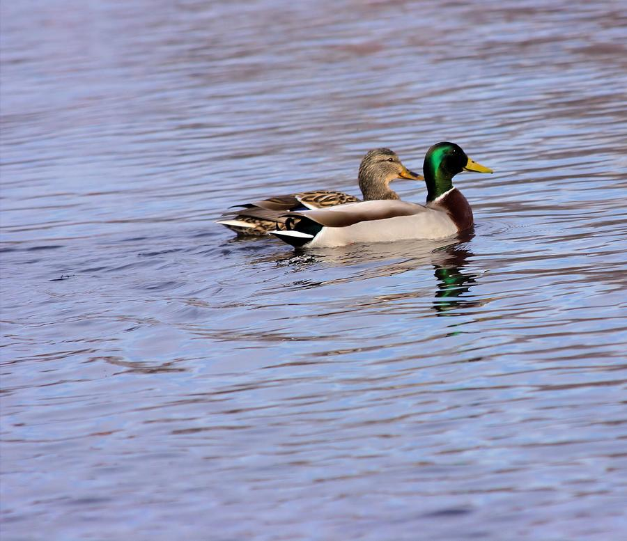Ducks Photograph - Two By Two by Myrna Migala