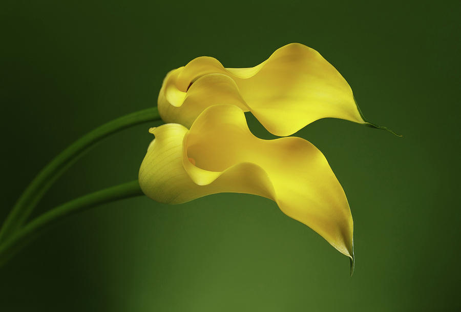 Calla Photograph - Two Calla Lily Flowers on Green background by Sergey Taran