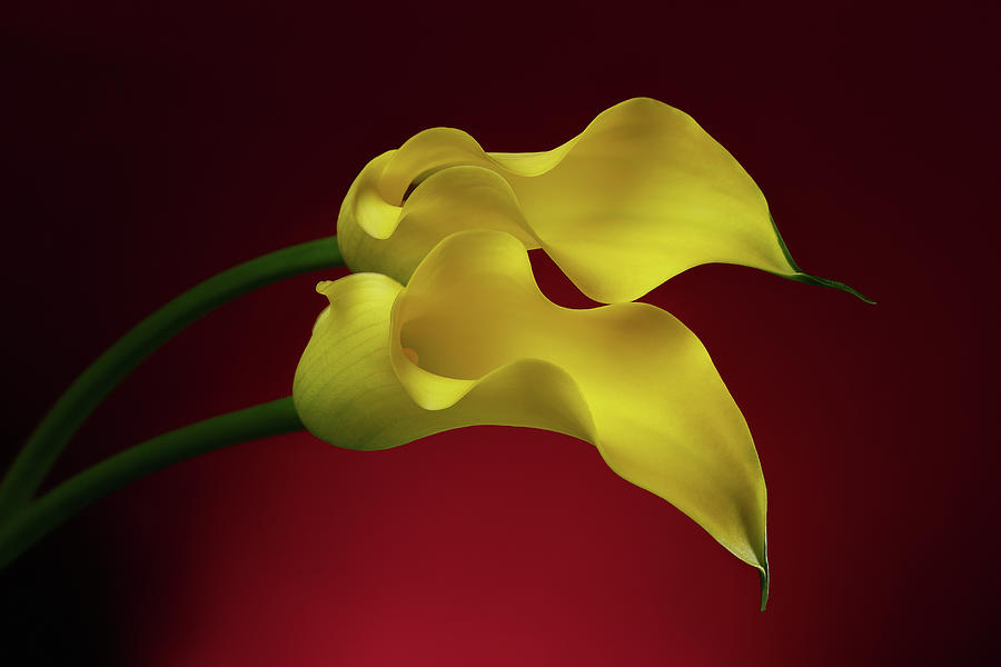 Calla Photograph - Two Calla Lily Flowers on Red background by Sergey Taran