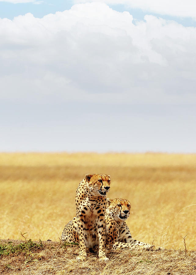 Field Photograph - Two Cheetahs in Africa - Vertical with Copy Space by Good Focused