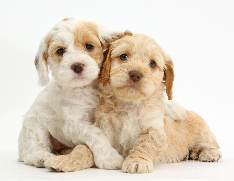 Pity, that cock a poo puppies pictures final, sorry
