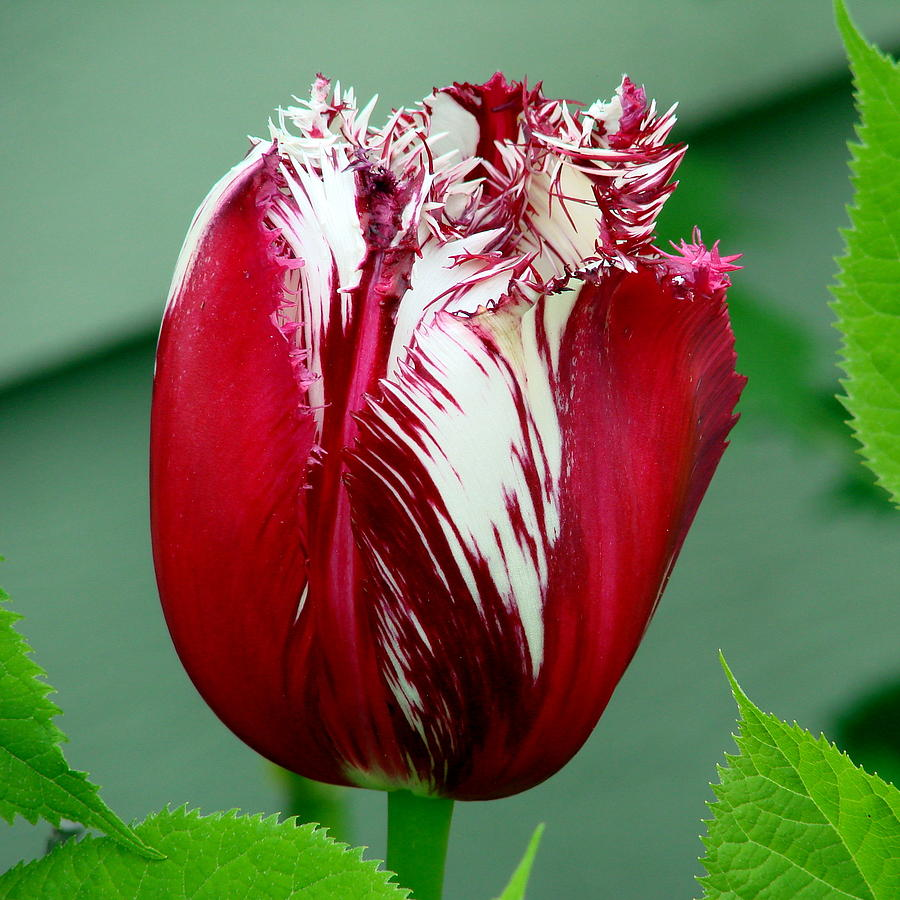 Colors Of Tulips: Two Color Tulip Photograph By Ed Mosier