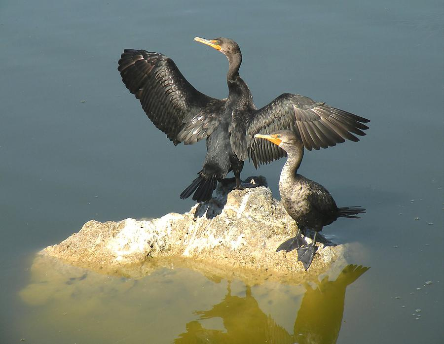 Birds Photograph - Two Cormorants by Rosalie Scanlon