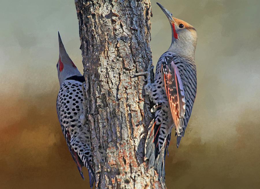 Northern Flicker Photograph - Two Flickers by Donna Kennedy