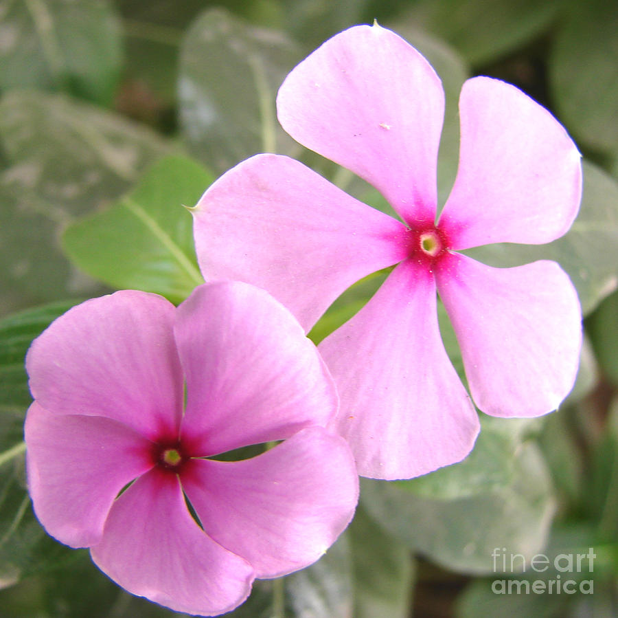 Two flowers rosy periwinkle photograph by shariq khan rosy periwinkle photograph two flowers rosy periwinkle by shariq khan mightylinksfo