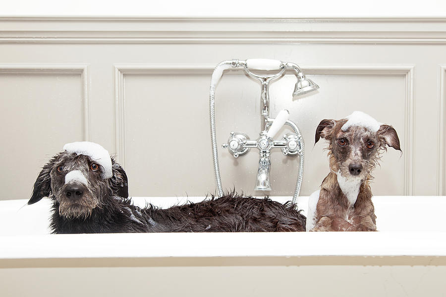 Animal Photograph - Two Funny Wet Dogs In Bathtub by Susan Schmitz