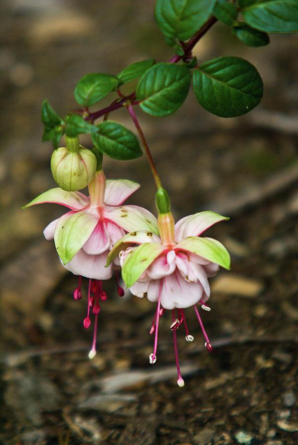 Two Photograph - Two Fushia Blossoms by Douglas Barnett