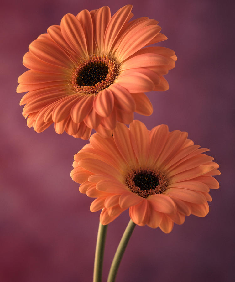 Flora Photograph - Two Gerberas 2 by Joseph Gerges