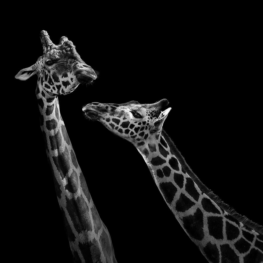 Giraffe photograph two giraffes in black and white by lukas holas