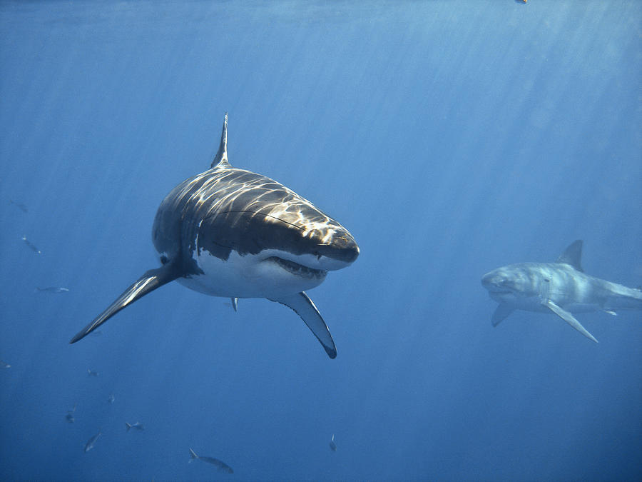 Horizontal Photograph - Two Great White Sharks by Photo by George T Probst