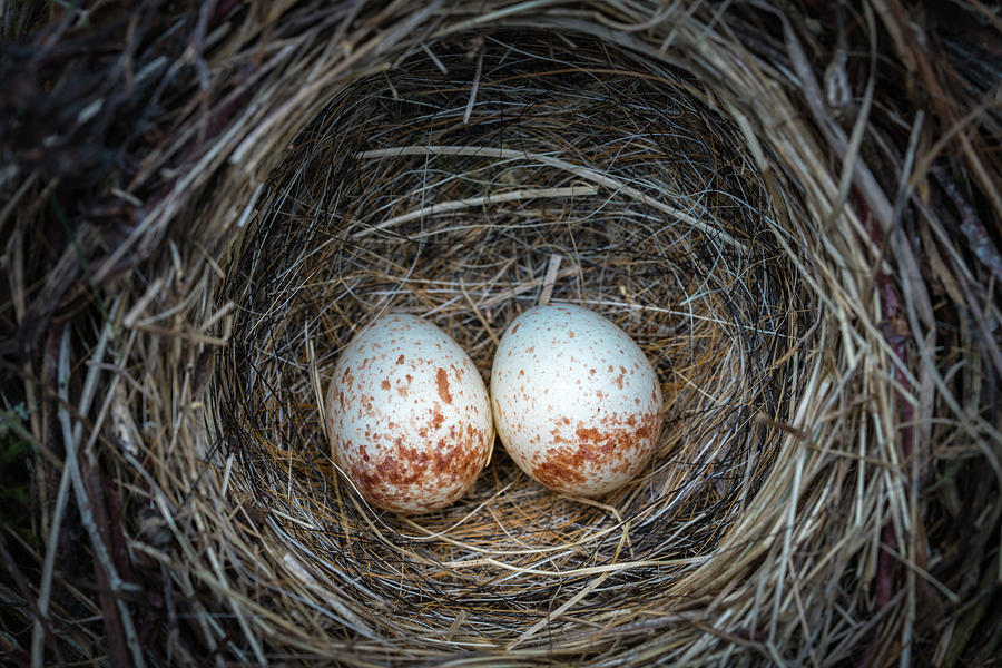 Two Junco Eggs In The Nest Photograph