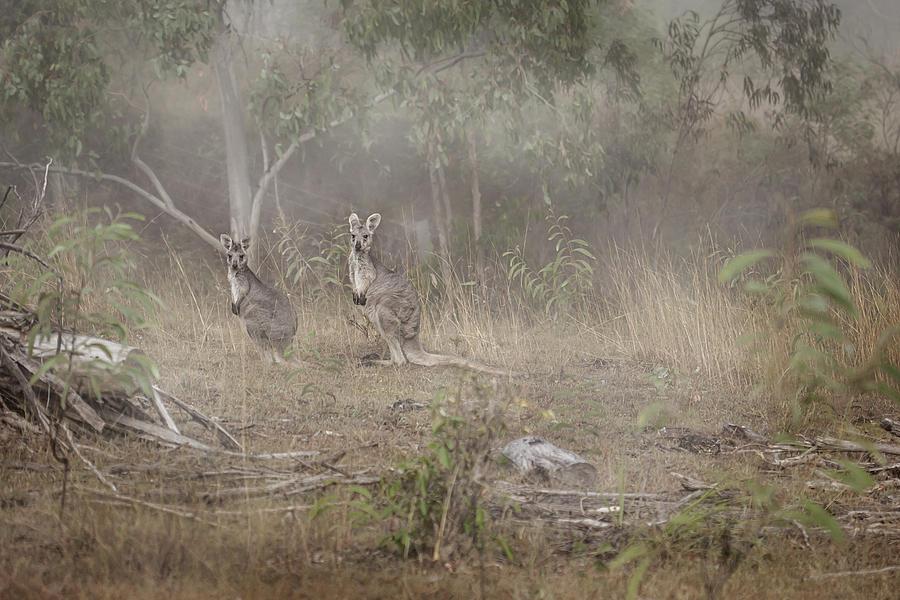 Two Kangaroos Photograph