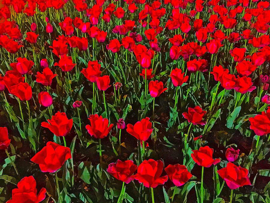 Tulips Photograph - Two Lips by Gillis Cone