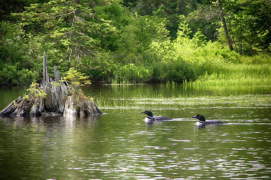 Lake Photograph - Two Loons Near Old Stump by Justin Mountain