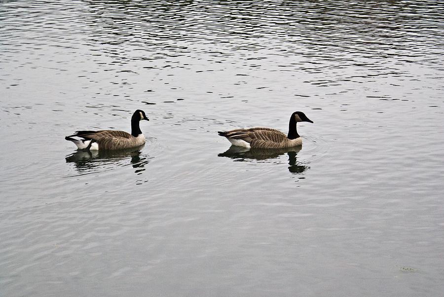 Arkansas Photograph - Two Lovely Canadian Geese by Douglas Barnett