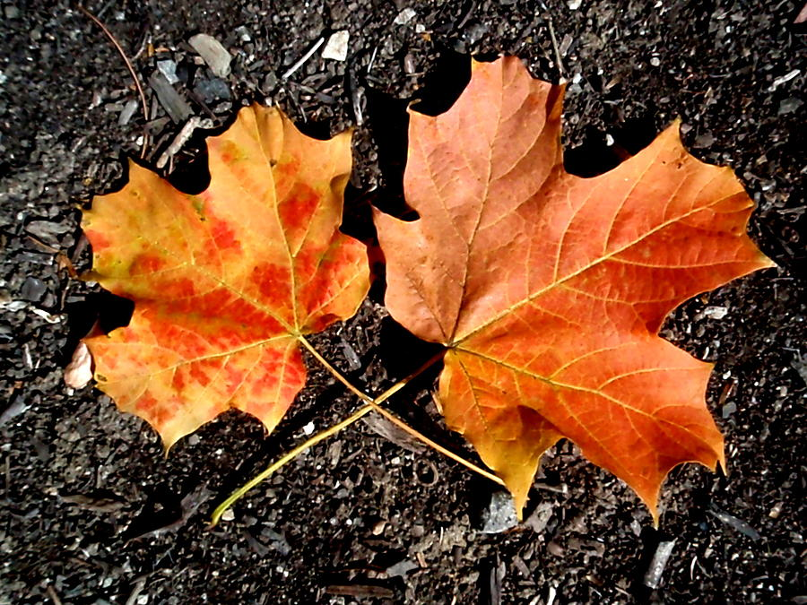 Maple Photograph - Two Maple Leaves by Beth Akerman