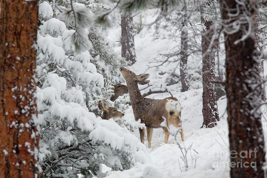 Two Mule Deer In Heavy Snowfall Photograph