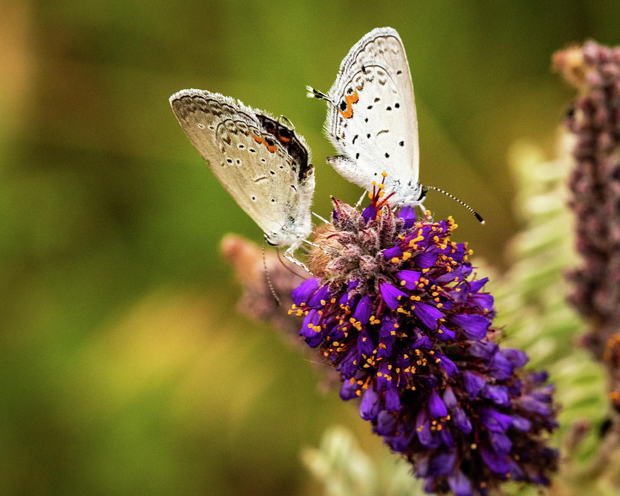 Two on a Flower by Jay Stockhaus