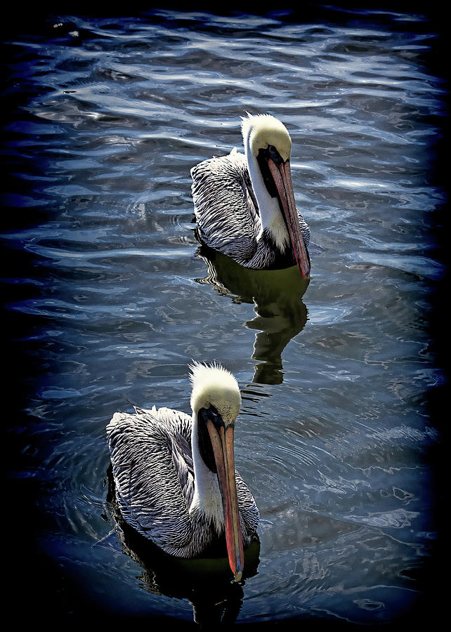 Two Pelicans by Andrew Chianese