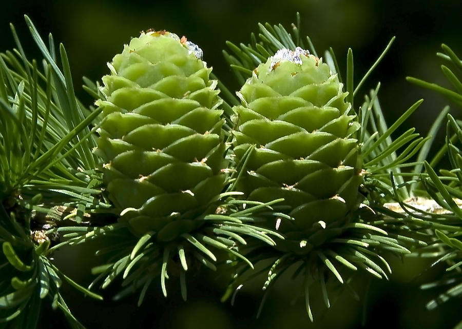 Two Photograph - Two Pinecones by Svetlana Sewell