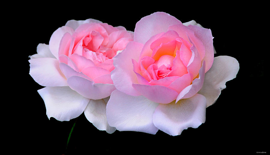 Roses Photograph - Two Pink Roses by JoAnn Lense