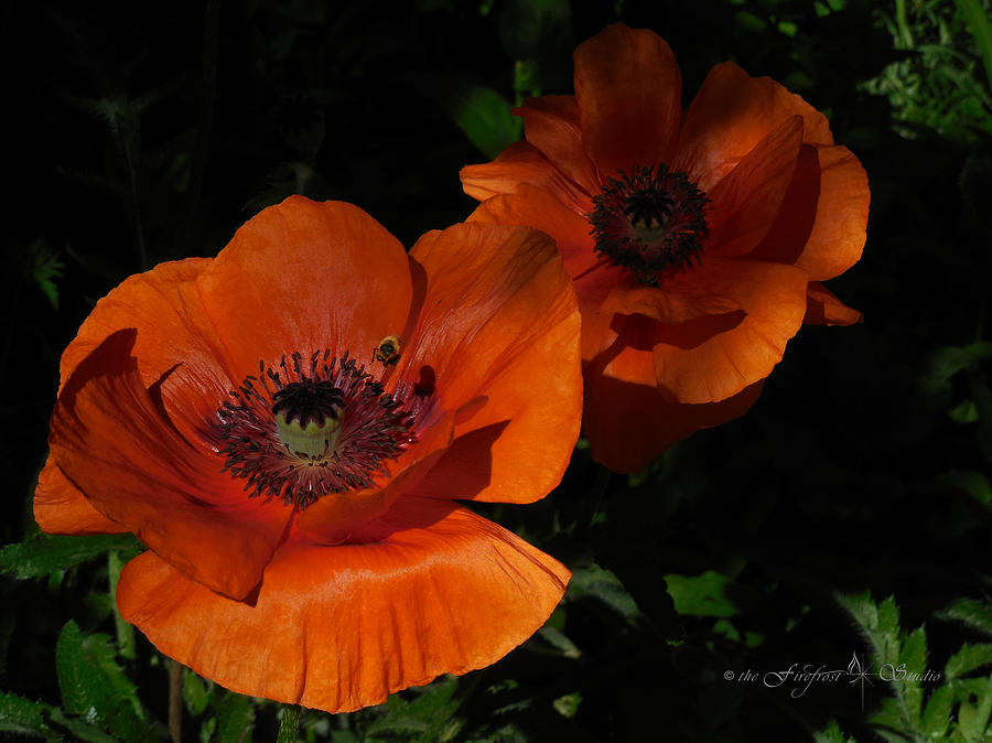 Two Poppies  and a Bee by Jill Westbrook