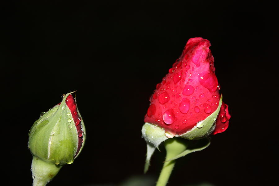 Roses Photograph - Two Red Rosebuds by Paula Coley