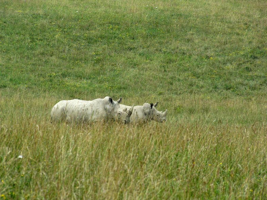 Rhino Photograph - Two Rhino In The Grass by George Jones