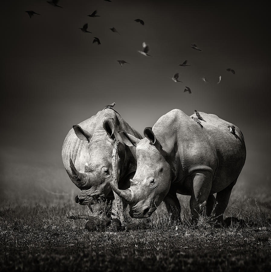 Two Rhinoceros With Birds In Bw Photograph