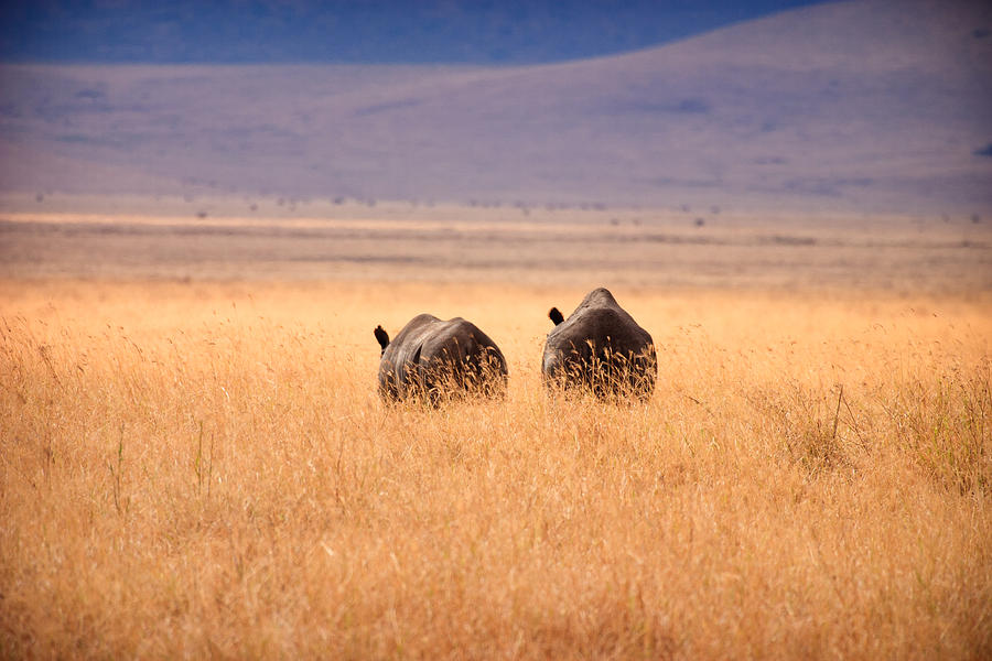 3scape Photos Photograph - Two Rhinos by Adam Romanowicz