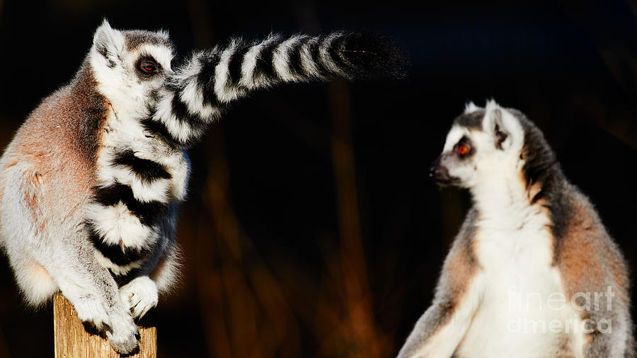 Two Ring-tailed Lemurs Photograph