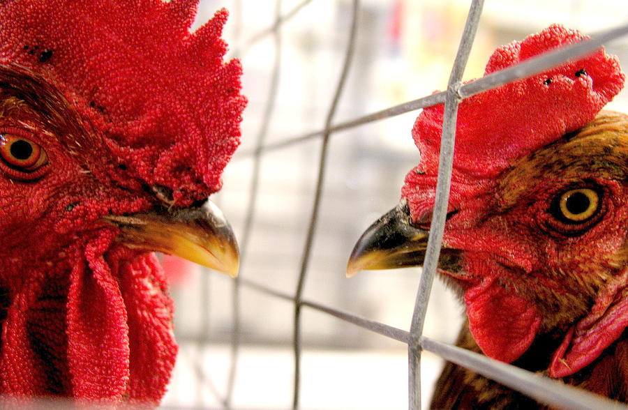 Animals Photograph - Two Roosters by Mark Stevenson