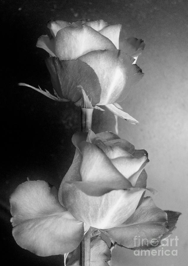 30a1c85ad Black And White Flower Photograph - Two Roses Black And White by Mesa  Teresita