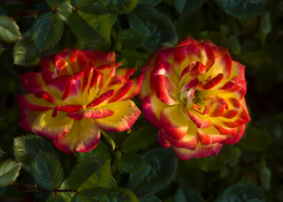 Flower Photograph - Two Roses by Svetlana Sewell
