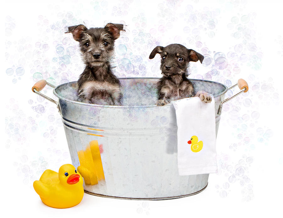 Dog Photograph - Two Scruffy Puppies In A Tub by Susan Schmitz