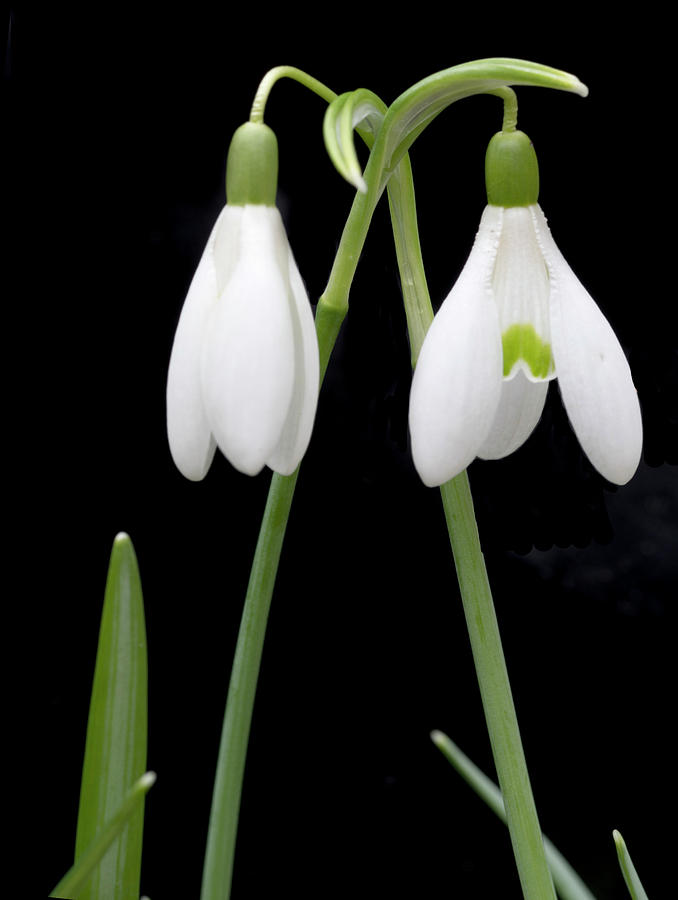 Snow Drops Photograph - Two Snow Drops by George Sanquist